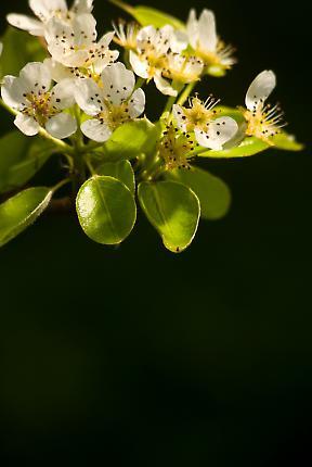 Birnenbaumblüten